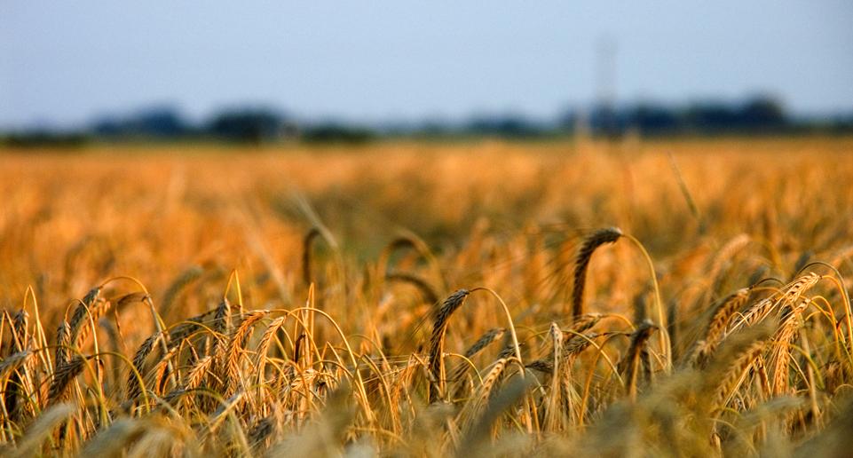 wheaty-field-15476061
